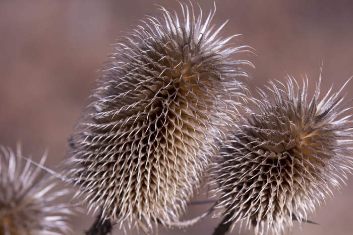 Day 5 - January 5, 2011 - Teasel (Dipsacus sp.)