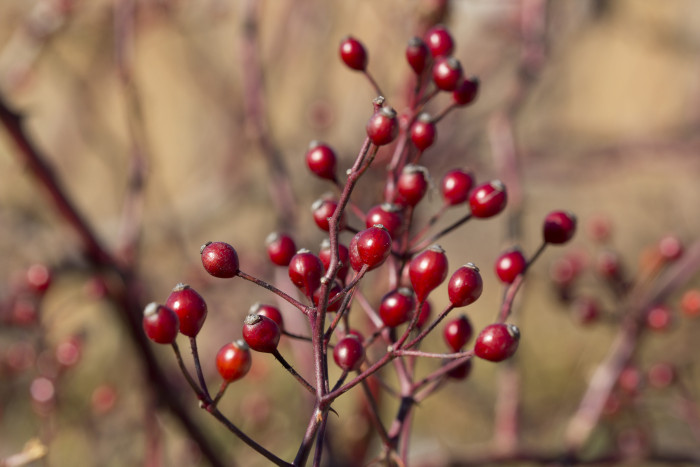 Day 13 - January 13, 2011 - Rose Hips