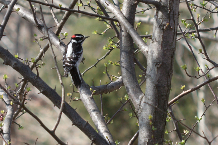Day 81 - March 22, 2011 - Downy Woodpecker