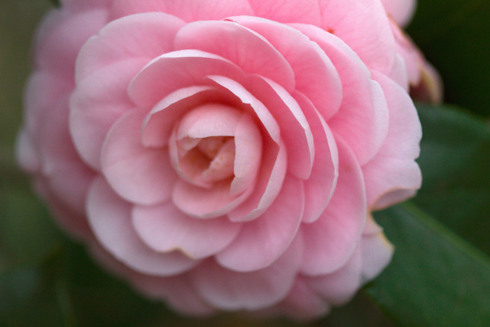 Day 91 - April 1, 2011 - Camellia japonica 'Pink Perfection'