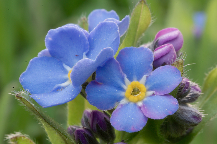 Day 108 - April 18, 2011 - Forget-Me-Nots