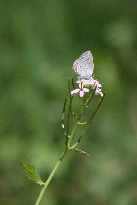 Day 115 - April 25, 2011 - Eastern Tailed Blue