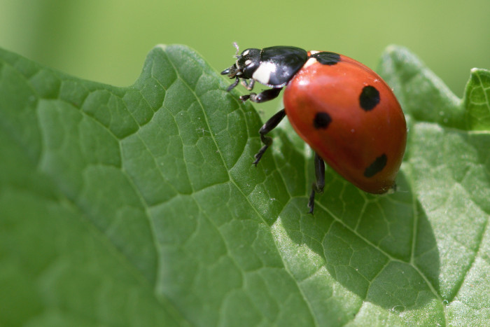 Day 126 - May 6, 2011 - Lady Beetle