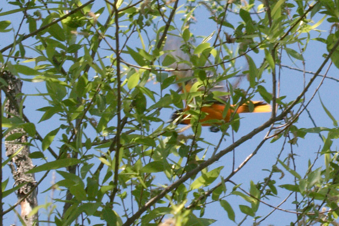 Day 131 - May 11, 2011 - Baltimore Oriole