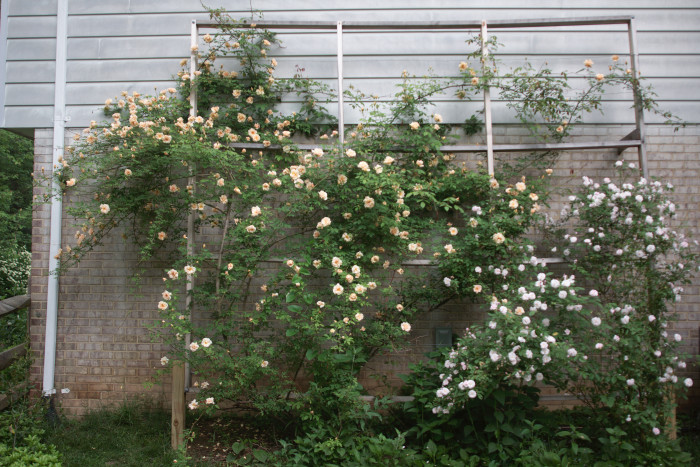 Day 140 - May 20, 2011 - Rose Trellis