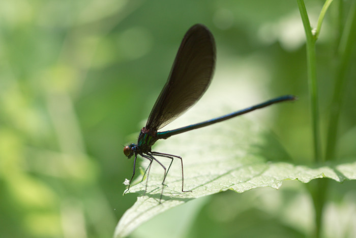 Day 143 - May 23, 2011 - Male Ebony Jewelwing
