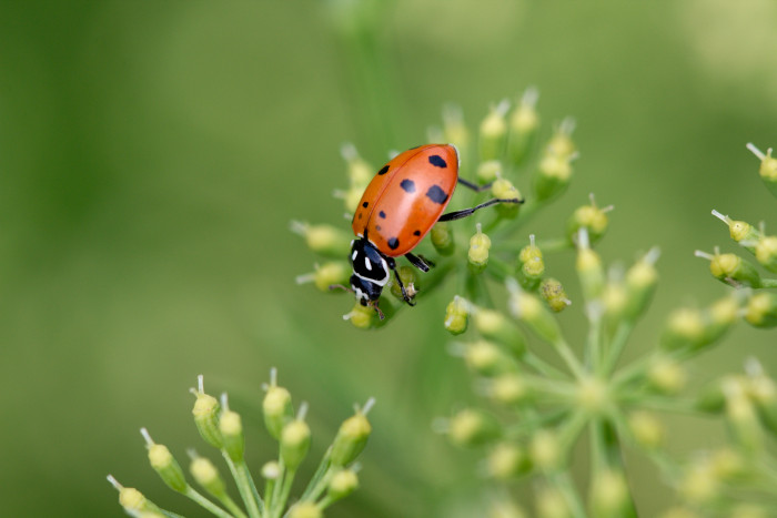 Day 169 - June 18, 2011 - Variegated Lady Beetle