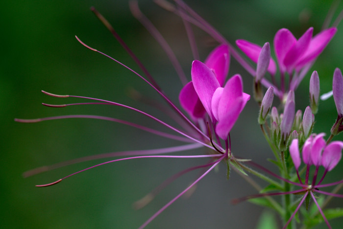 Day 174 - June 23, 2011 - Cleome hassleriana