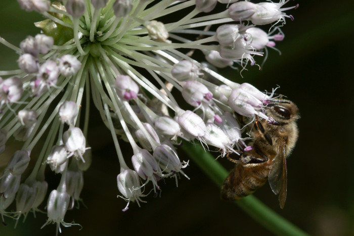 Day 181 - June 30, 2011 - Honey Bee on Wild Onion