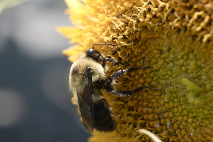 Day 183 - July 2, 2011 - Bumble Bee on Sunflower