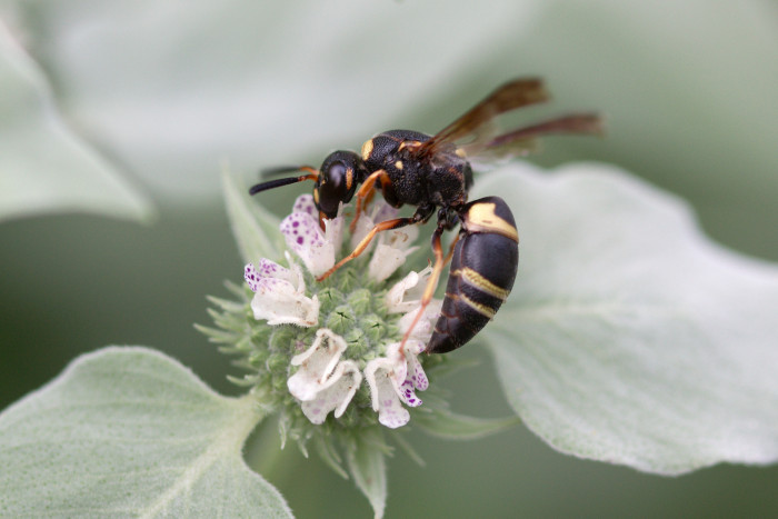 Day 188 - July 7, 2011 - Potter Wasp
