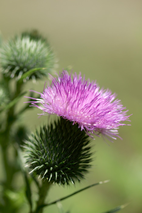 Day 195 - July 14, 2011 - Thistle Flower