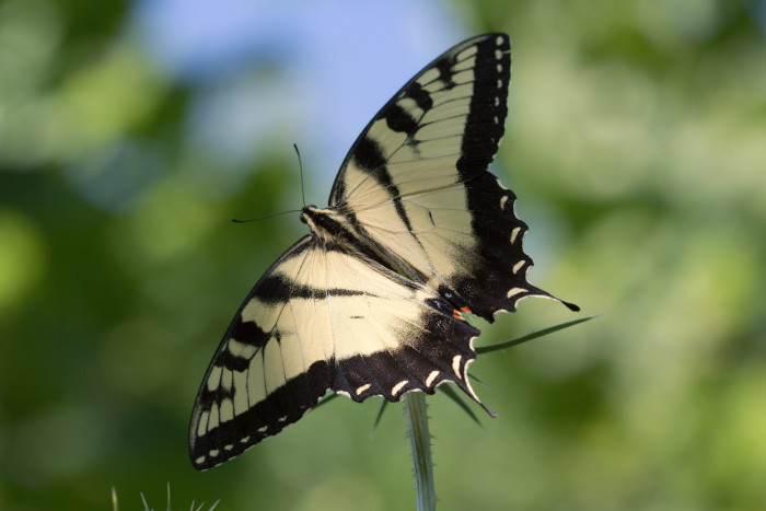 Day 207 - July 26, 2011 - Eastern Tiger Swallowtail