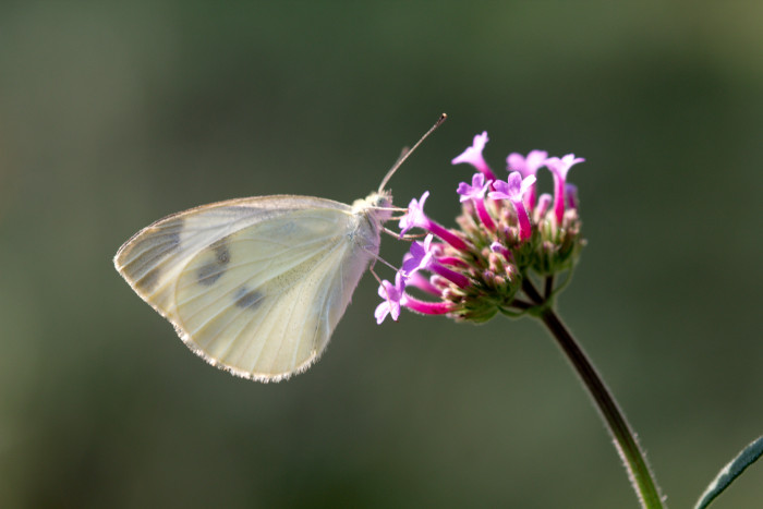 Day 221 - August 9, 2011 - Cabbage White