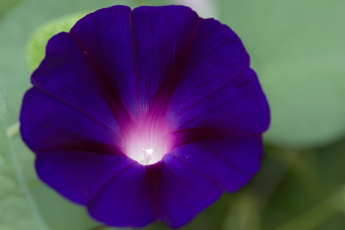 Day 223 - August 11, 2011 - Morning Glory