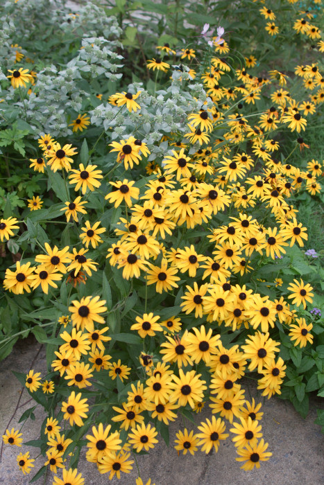Day 229 - August 17, 2011 - Black-eyed Susans