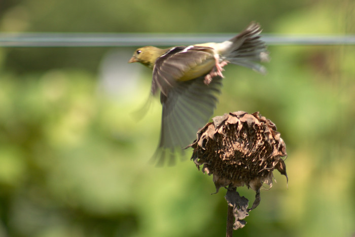 Day 232 - August 20, 2011 - American Goldfinch