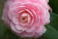 Day&nbsp;91<br />April 1, 2011<br /><em>Camellia japonica</em> &#x2018;Pink Perfection&#x2019;