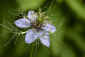 Day&nbsp;144<br />May 24, 2011<br />Love-In-a-Mist
