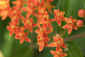 Day&nbsp;164<br />June 13, 2011<br />Butterfly Weed