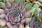 Day&nbsp;168<br />June 17, 2011<br /><em>Sempervivum</em>