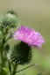Day&nbsp;195<br />July 14, 2011<br />Thistle Flower