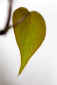 January 28, 2011<br />Philodendron Leaf