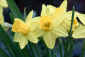 March 18, 2011<br />Daffodils