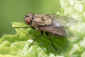 May 9, 2011<br />A Common Housefly