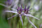 May 22, 2011<br /><em>Allium christophii</em> #2