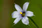 May 23, 2011<br />Blue-eyed Grass