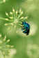 June 18, 2011<br />Blue-green Bee